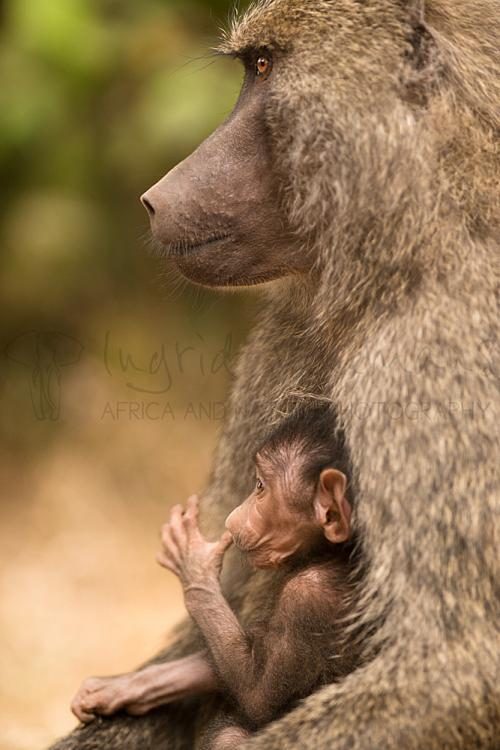 Moeder en baby baviaan in Ngorongoro Conservation Area tijdens Tanzania Wildernis Safari