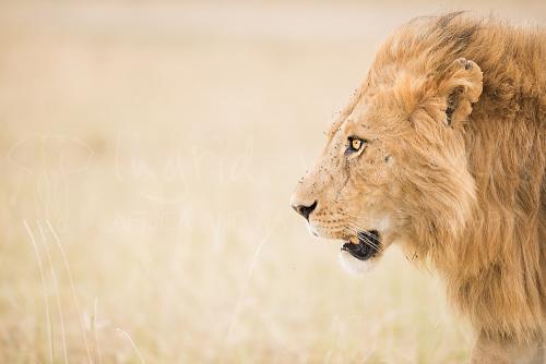 Male lion walking the Masai Mara plains close-up