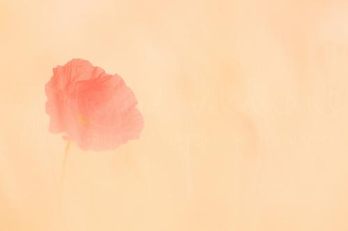Poppy in wheat field in soft focus close-up