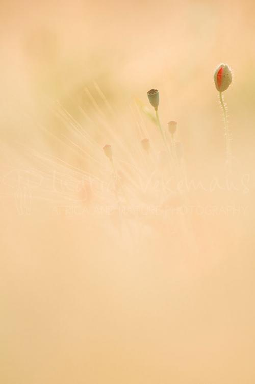 Poppy bud and seed pod in wheat field