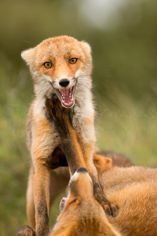 Young red foxes fighting for dominance, full frontal pose and eye contact (Zandvoort, The Netherlands)