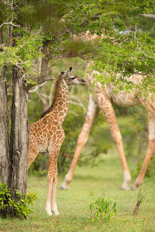 Babygiraf tegen achtergrond van poten van stappende volwassen giraf in het groen