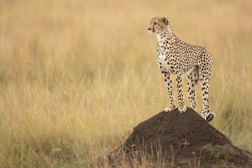 Cheetah standing straight on black termite mound in dry grass looking in the distance