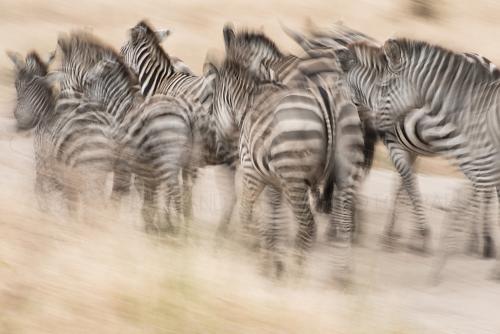 Lopende zebra's met bewegingseffect panning in Tarangire. Tanzania Wildernissafari.