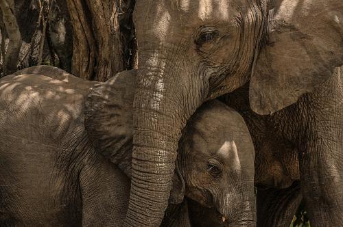 Close-up van Afrikaanse olifant die baby knuffelt tegen gelijkgekleurde achtergrond van boom