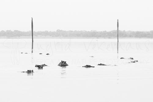 Hippos in Lake Manze in Selous during Southern Tanzania Explorer photo safari