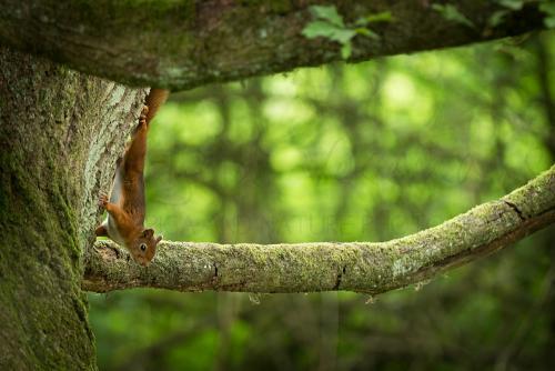 Rode eekhoorn in boom in bos in België