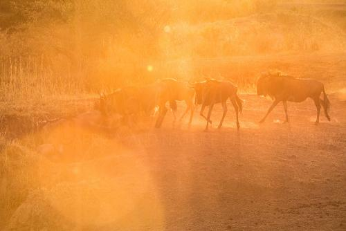 Gnoes dalen af naar de Mararivier bij zonsopgang tijdens fotosafari Migratie en Meren van de Grote Rift