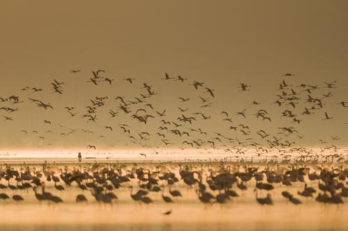 Gevlekte hyena jagend op flamingo's in Lake Nakuru bij zonsopgang