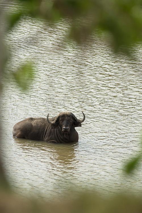 Afrikaanse buffel ligt in het water met kader van onscherp groen erom heen