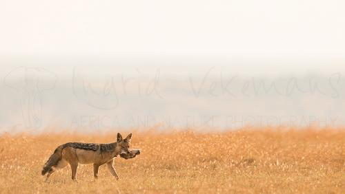 Jackal carrying Thomson gazelle prey in Meru during photo safari Untouched Africa