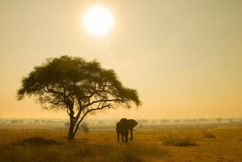 Elephant hiding for sun and flapping ears under tree in Tarangire landscape at sunrise, Tanzania, Africa.