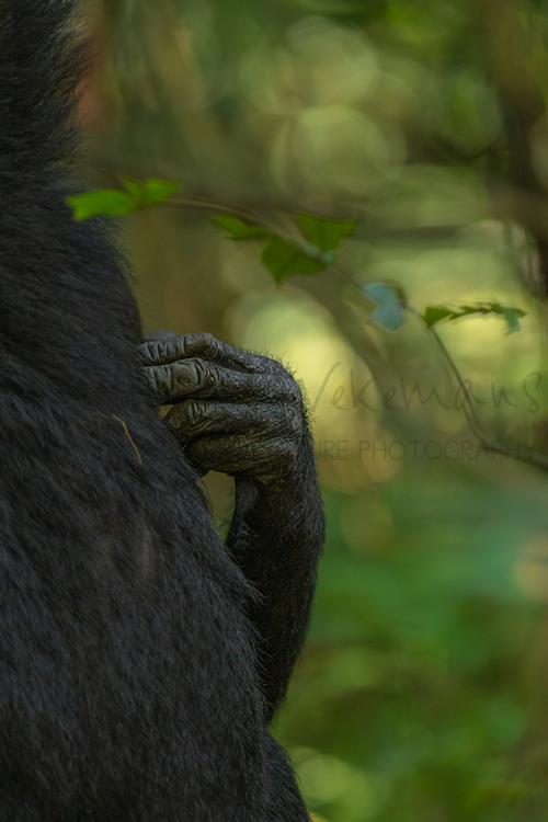 Chimpanseehand raakt rug van andere chimpansee aan met onscherpe achtergrond van groen en geel gebladerte