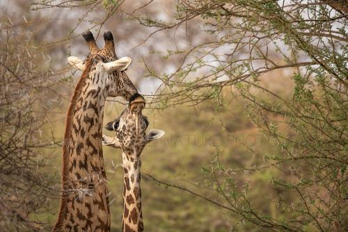 Kissing giraffe couple in Tsavo West during Maneaters and Red Elephants photo safari