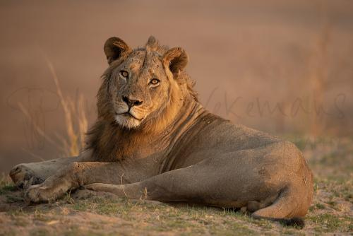 Young male lion in early morning lying with eye contact in soft light in South Luangwa in Zambia