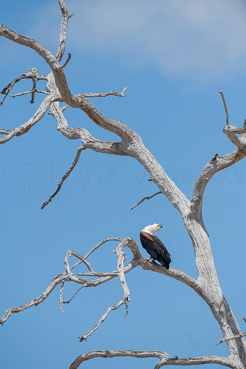 African fish eagle calling in Selous during 'Southern Tanzania Explorer' photo safari