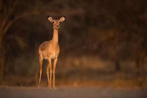 Alerte impala in gouden avondlicht van zonsondergang in South Luangwa in Zambia