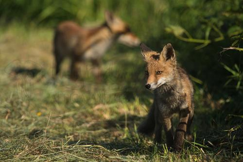 Young foxes exploring the den area