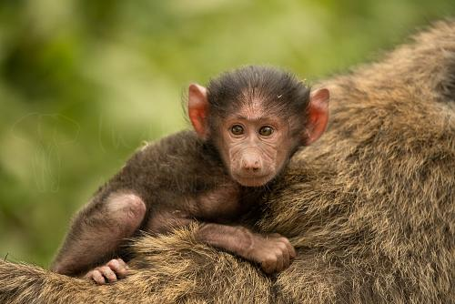 Baby baboon with frontal eye contact holding onto the fur of the mother's back with green background