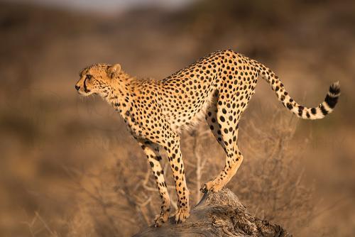 Jachtluipaard op de uitijk in Samburu