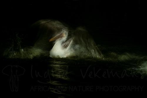 Pelikaan in beweging tijdens workshop wildlife met Ingrid Vekemans