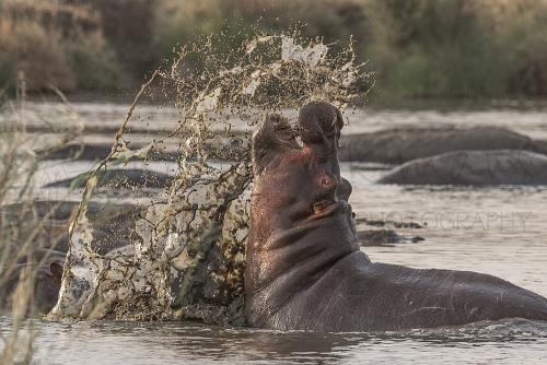 Nijlpaardgevecht in de Serengeti tijdens Tanzania Wildernis Safari