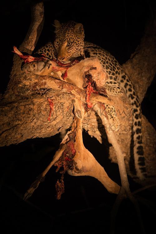 Luipaard in het donker in boom met prooi van impala in South Luangwa in Zambia