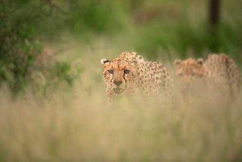 Cheetah close-up tijdens fotosafari in Tanzania in Afrika met Ingrid Vekemans