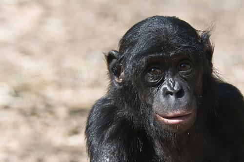 Bonobo close-up in gevangenschap