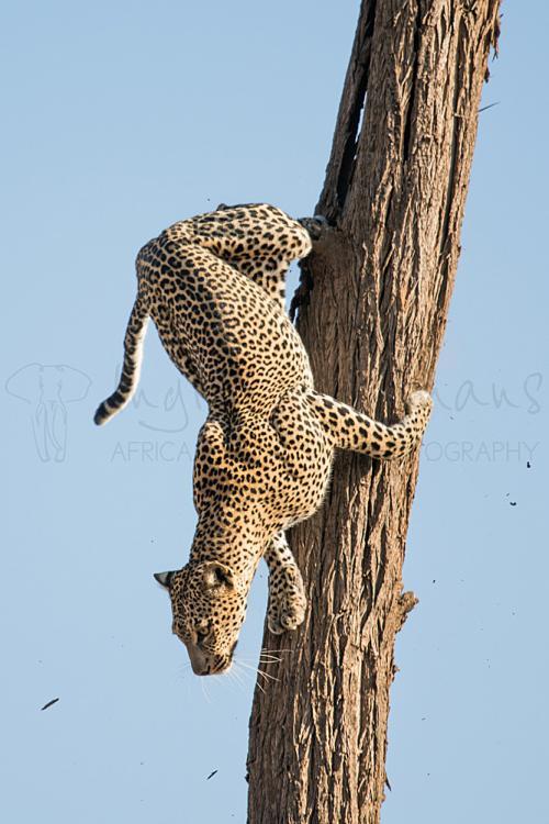 Leopard descending from tree in Samburu National Reserve