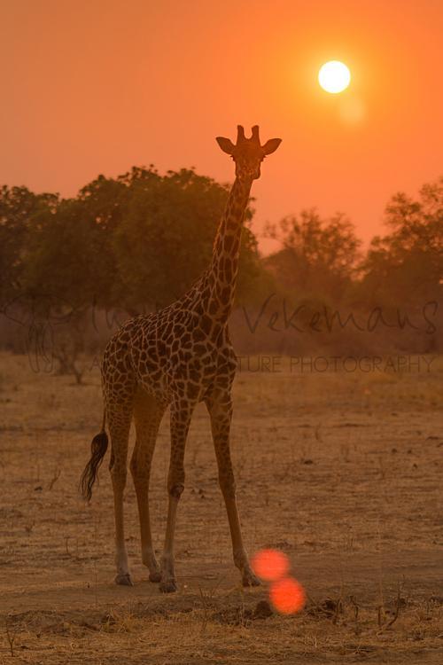 Thornicroft giraf bij zonsopgang in oranje licht bij zonsopgang in South Luangwa in Zambia