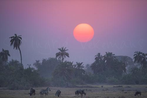 Sunset in Amboseli with zebras and wildebeest during Maneaters and Red Elephants photo safari