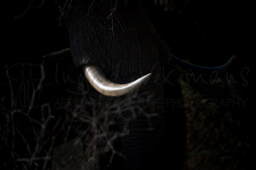 Elephant tusk in bush with ivory tusk visible only.