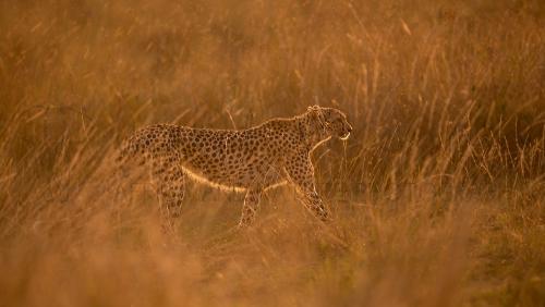 Cheetah walking through golden grass at sunset in the rain
