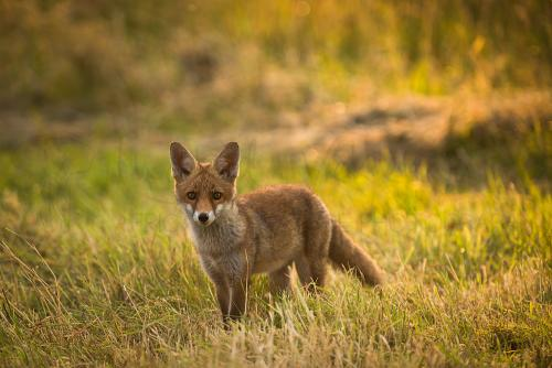 Young fox standing in grass with eye contact