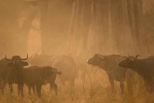 Buffalo herd under baobab tree at sunset in Tarangire during Tanzania Wilderness Safari photo safari
