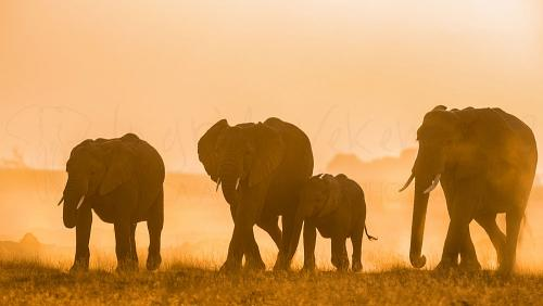 Elephant herd walking at sunset in Amboseli during photo safari 'Maneaters and Red Elephants'