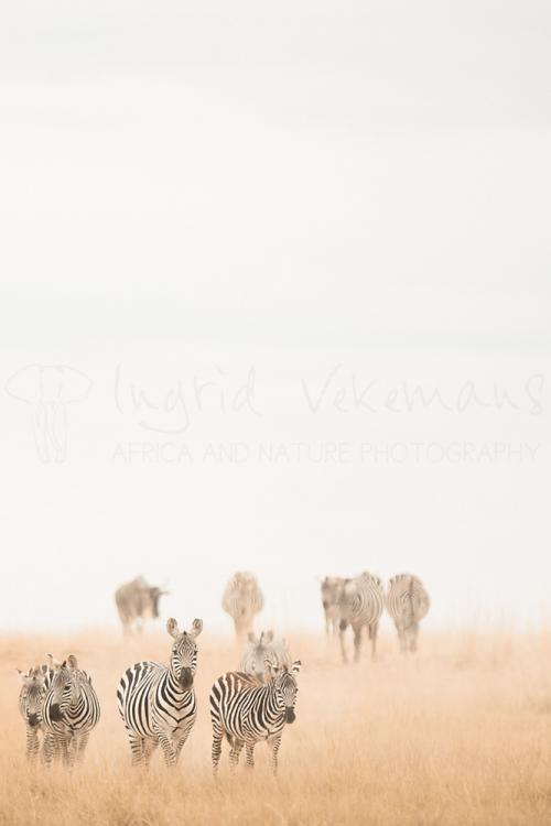 Zebras and wildebeest appearing from dust storm in Amboseli during Maneaters and Red Elephants photo safari