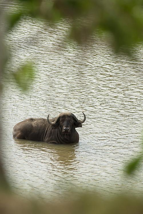 Cape buffalo lying in Rufiji River on a hot day during 'Southern Tanzania Explorer' photo safari
