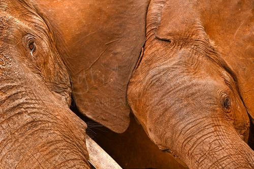 Close-up of red elephants in Tsavo during photo safari 'Maneaters and Red Elephants'