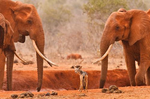 Bekroonde foto van jakhals staande tussen twee grote olifanten in Tsavo East