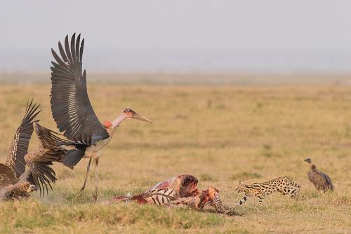 Serval jaagt aaseters weg in Amboseli tijdens Over Maneaters en Rode Olifanten fotosafari