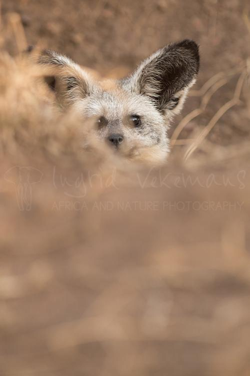 Bat-eared fox in close-up sticking head out of den in Serengeti