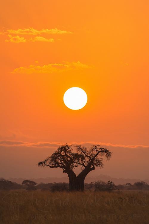 Zonsopgang en baobab in Tarangire in Tanzania