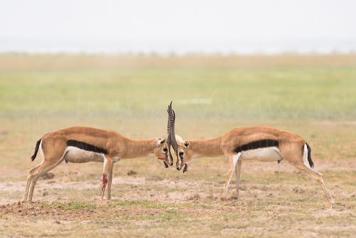 Vechtende Thomsongazelles met bloed in Amboseli in Kenia in Afrika