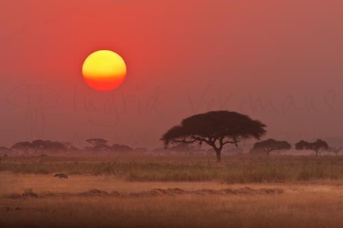 Hyena in landschap met acaciaboom bij rode zonsondergang in Amboseli in Kenia in Afrika