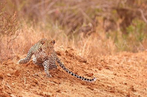 Luipaard die rechtstaat in rood zand in Tsavo West in Kenia in Afrika