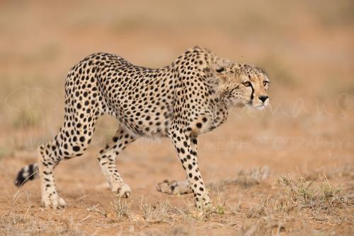 Sluipende jonge jachtluipaard in Tsavo East in Kenia in Afrika