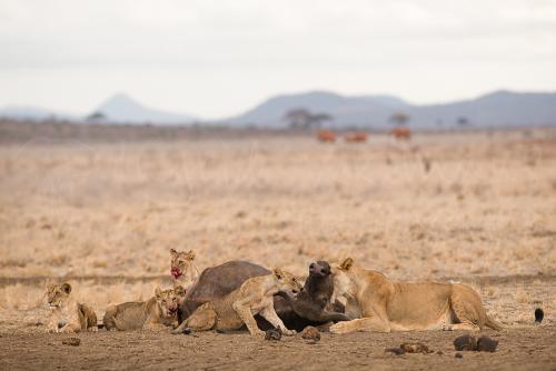 Leeuwen die prooi van buffel verstikken met welpen in Tsavo East in Kenia in Afrika