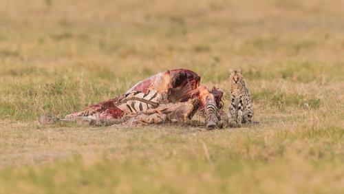 Serval met zebra prooi in Amboseli in Kenia in Afrika